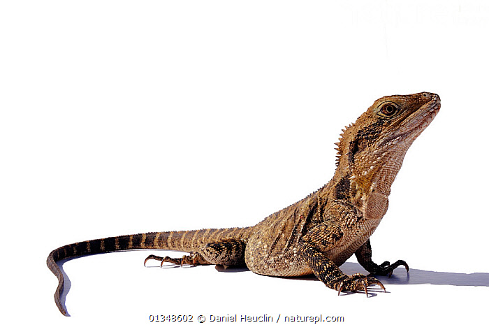 Eastern water dragon (Physignathus lesueurii) female, captive, from Eastern Australia, AGAMAS,AGAMIDAE,AUSTRALIA,CLAWS,CUTOUT,LIZARDS,PORTRAITS,REPTILES,VERTEBRATES,,Lizards,,,Lizards,, Daniel Heuclin