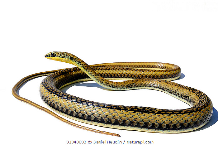 Eastern stripe-bellied sand snake (Psammophis orientalis) Captive, from Mozambique, COLUBRIDAE,CUTOUT,PORTRAITS,REPTILES,SNAKE,SNAKES,SOUTHERN AFRICA,VERTEBRATES, Daniel Heuclin