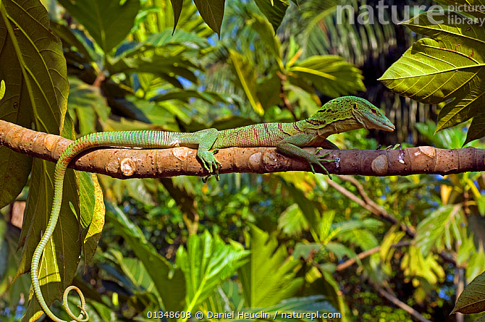 Emerald tree monitor (Varanus prasinus) resting on branch in tree, captive, from New-Guinea, CAMOUFLAGE,GREEN,GREEN TREE MONITOR,HABITAT,LIZARDS,REPTILES,SOUTH EAST ASIA,VERTEBRATES,,Lizards,,,Lizards,, Daniel Heuclin