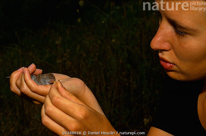 Scientist feeding a recently captured Greater white toothed shrew (Crocidura russula) Aude, France  ,  CAUCASIAN,EUROPE,FEEDING,FRANCE,HANDS,INSECTIVORES,MAMMALS,RESEARCH,SHREWS,SORICIDAE,VERTEBRATES,WOMAN  ,  Daniel Heuclin