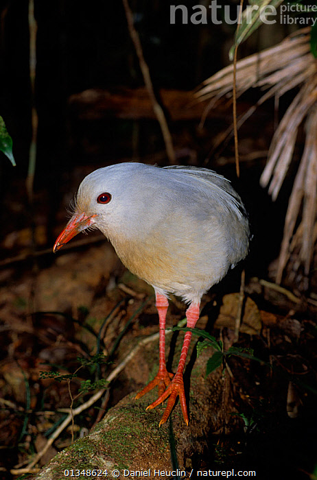 Kagu / Cagou (Phynochetos jubatus) New-Caledonia, Pacific, endemic and endangered, BIRDS,CAGOU,ENDANGERED,PACIFIC ISLANDS,RHYNOCHETIDAE,VERTEBRATES,VERTICAL,WHITE, Daniel Heuclin