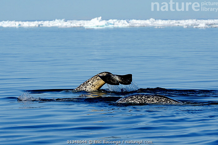 Narwhal (Monodon monoceros) tail fluke above the sea surface. Baffin Island, Nunavut, Canada, June.  ,  ARCTIC,CANADA,CETACEANS,ICE,MAMMALS,MARINE,NORTH AMERICA,SEASCAPES,SURFACE,TAILS,VERTEBRATES,WHALES  ,  Eric Baccega