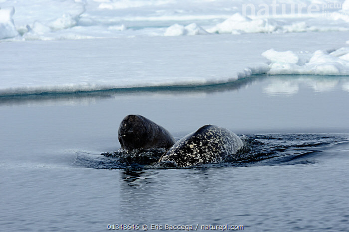 A female Narwhal (Monodon monoceros) surfacing with her yearling calf. Baffin Island, Nunavut, Canada, June.  ,  ARCTIC,CANADA,CETACEANS,ICE,JUVENILE,MAMMALS,MARINE,MOTHER BABY,NORTH AMERICA,SEAS,SURFACE,TWO,VERTEBRATES,WHALES  ,  Eric Baccega