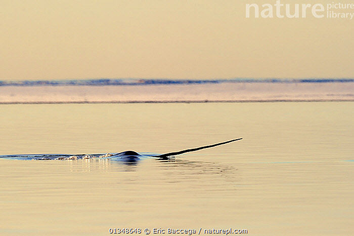 Narwhal (Monodon monoceros) showing tusk above water surface. Baffin Island, Nunavut, Canada, April., ARCTIC,Baffin Island,CANADA,catalogue4,CETACEANS,danger,HORNS,ICE,MAMMALS,MARINE,menacing,Nobody,NORTH AMERICA,Nunavut,one animal,Silence,stealth,SURFACE,Threats,Tusk,TUSKS,VERTEBRATES,WATER,water surface,WHALES,WILDLIFE, Eric Baccega