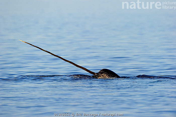 Narwhal (Monodon monoceros) showing tusk above water surface. Baffin Island, Nunavut, Canada, June., ARCTIC,CANADA,CETACEANS,HORNS,MAMMALS,MARINE,NORTH AMERICA,SURFACE,TUSKS,VERTEBRATES,WHALES, Eric Baccega