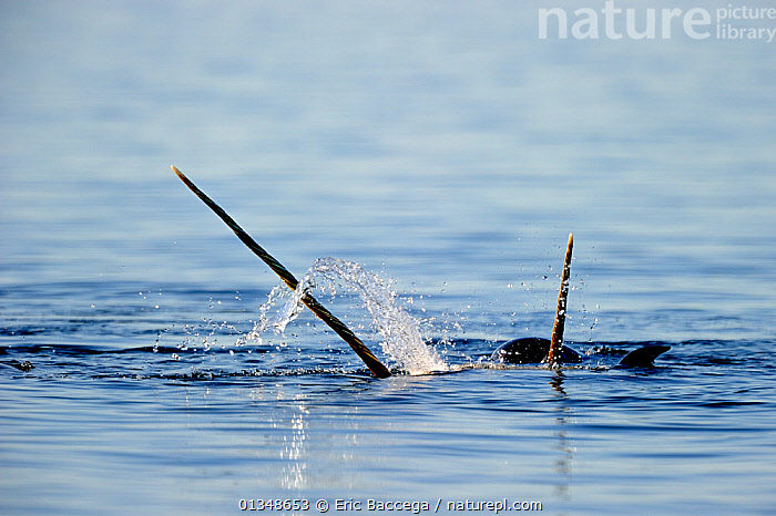 Narwhal (Monodon monoceros) showing tusks above water surface. Baffin Island, Nunavut, Canada, June.  ,  ARCTIC,CANADA,CETACEANS,HORNS,MAMMALS,MARINE,NORTH AMERICA,SURFACE,TUSKS,TWO,VERTEBRATES,WHALES  ,  Eric Baccega