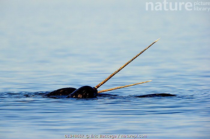 Narwhal (Monodon monoceros) males showing tusks above water surface. Baffin Island, Nunavut, Canada, June.  ,  ARCTIC,CANADA,CETACEANS,HORNS,MAMMALS,MARINE,NORTH AMERICA,SURFACE,TUSKS,TWO,VERTEBRATES,WHALES  ,  Eric Baccega