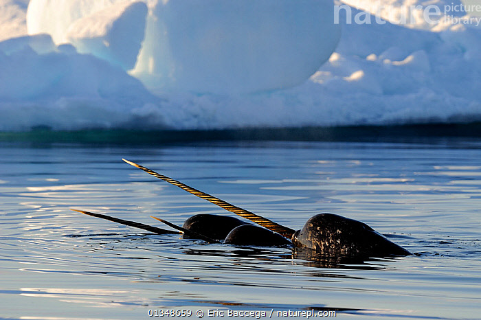 Narwhal (Monodon monoceros) showing tusks above water surface. Baffin Island, Nunavut, Canada, June., ARCTIC,CANADA,CETACEANS,GROUPS,HORNS,ICE,MAMMALS,MARINE,NORTH AMERICA,SMALL GROUPS,SURFACE,TUSKS,VERTEBRATES,WHALES, Eric Baccega
