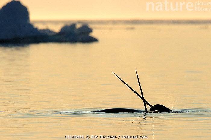 Narwhal (Monodon monoceros) crossing tusks above water surface. Baffin Island, Nunavut, Canada, April., affection,AFFECTIONATE,animal behaviour,ARCTIC,Baffin Island,CANADA,catalogue4,CETACEANS,coastal,differential focus,focus on foreground,HORNS,MAMMALS,MARINE,Nobody,NORTH AMERICA,Nunavut,selective focus,SILHOUETTES,SURFACE,Tusk,TUSKS,two,two animals,VERTEBRATES,WATER,water surface,WHALES,WILDLIFE, Eric Baccega