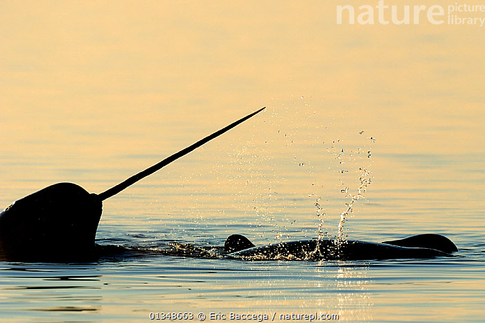 Narwhal (Monodon monoceros) showing tusk above water surface. Baffin Island, Nunavut, Canada, June.  ,  ARCTIC,CANADA,CETACEANS,HORNS,MAMMALS,MARINE,NORTH AMERICA,SILHOUETTES,TUSKS,VERTEBRATES,WHALES  ,  Eric Baccega