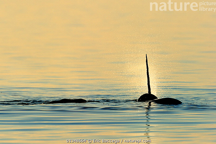 Narwhal (Monodon monoceros) showing tusk above water surface surrounded by blow-hole spray. Baffin Island, Nunavut, Canada, June., ARCTIC,CANADA,CETACEANS,HORNS,MAMMALS,MARINE,NORTH AMERICA,SILHOUETTES,SPRAY,SURFACE,TUSKS,VERTEBRATES,WHALES, Eric Baccega