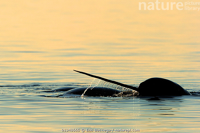 Narwhal (Monodon monoceros) showing tusk above water surface. Baffin Island, Nunavut, Canada, June., ARCTIC,CANADA,CETACEANS,HORNS,MAMMALS,MARINE,NORTH AMERICA,SILHOUETTES,SURFACE,TUSKS,VERTEBRATES,WHALES, Eric Baccega