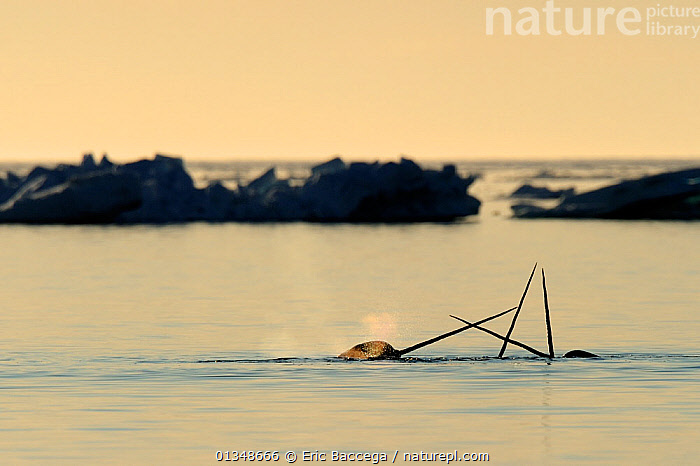 Narwhal (Monodon monoceros) showing tusks above water surface. Baffin Island, Nunavut, Canada, June., ARCTIC,CANADA,CETACEANS,GROUPS,HORNS,ICE,MAMMALS,MARINE,NORTH AMERICA,SILHOUETTES,SMALL GROUPS,SURFACE,THREE,TUSKS,VERTEBRATES,WHALES, Eric Baccega