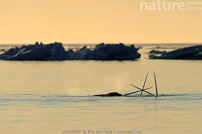 Narwhal (Monodon monoceros) showing tusks above water surface. Baffin Island, Nunavut, Canada, June., ARCTIC,CANADA,CETACEANS,HORNS,MAMMALS,MARINE,NORTH AMERICA,SILHOUETTES,SURFACE,THREE,TUSKS,VERTEBRATES,WHALES, Eric Baccega