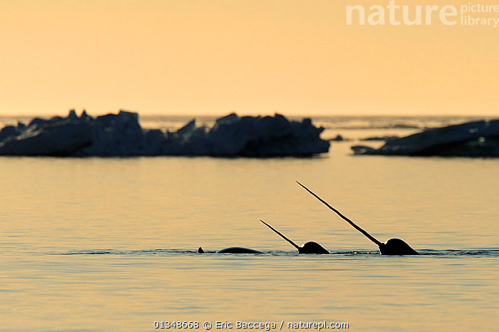 Narwhal (Monodon monoceros) showing tusks above water surface. Baffin Island, Nunavut, Canada, June., ARCTIC,CANADA,CETACEANS,HORNS,ICE,MAMMALS,MARINE,NORTH AMERICA,SILHOUETTES,SURFACE,THREE,TUSKS,VERTEBRATES,WHALES, Eric Baccega