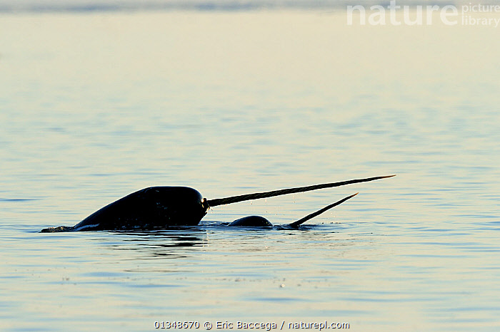 Narwhal (Monodon monoceros) showing tusks above water surface. Baffin Island, Nunavut, Canada, June., ARCTIC,CANADA,CETACEANS,HORNS,MAMMALS,MARINE,NORTH AMERICA,SURFACE,TUSKS,TWO,VERTEBRATES,WHALES, Eric Baccega