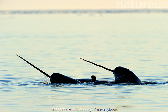 Narwhal (Monodon monoceros) showing tusks above water surface. Baffin Island, Nunavut, Canada, June., ARCTIC,CANADA,CETACEANS,HORNS,MAMMALS,MARINE,NORTH AMERICA,SILHOUETTES,SURFACE,TUSKS,TWO,VERTEBRATES,WHALES, Eric Baccega