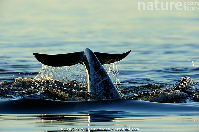 Narwhal (Monodon monoceros) flipping its tail. Baffin Island, Nunavut, Canada, June., ARCTIC,CANADA,CETACEANS,MAMMALS,MARINE,NORTH AMERICA,SURFACE,TAILS,VERTEBRATES,WHALES, Eric Baccega
