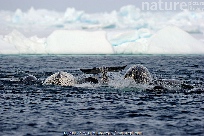A group of Narwhal (Monodon monoceros) hunting at the sea surface. Baffin Island, Nunavut, Canada, June., ARCTIC,BEHAVIOUR,CANADA,CETACEANS,GROUPS,ICE,MAMMALS,MARINE,NORTH AMERICA,SURFACE,TAILS,VERTEBRATES,WHALES, Eric Baccega
