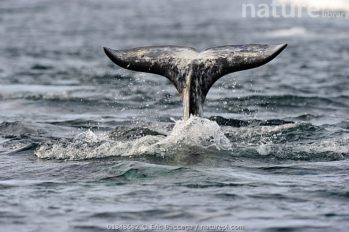 A Narwhal (Monodon monoceros) tail above the sea surface. Baffin Island, Nunavut, Canada, June.  ,  ARCTIC,CANADA,CETACEANS,MAMMALS,MARINE,NORTH AMERICA,SURFACE,TAILS,VERTEBRATES,WHALES  ,  Eric Baccega