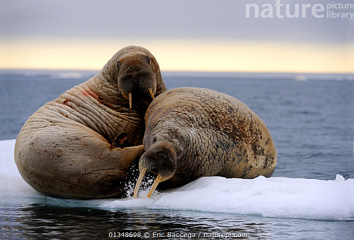 Two Walrus (Odobenus rosmarus) resting on ice. The behaviour of stabbing at the ice may be a warning display. Foxe Basin, Nunavut, Canada, July., ARCTIC,CANADA,CARNIVORES,DISPLAY,ICE,MAMMALS,MARINE,NORTH AMERICA,PINNIPEDS,TWO,VERTEBRATES,WALRUSES,Communication, Eric Baccega