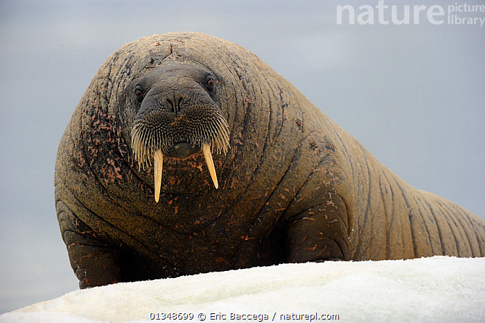 Portrait of a Walrus (Odobenus rosmarus) resting on ice. Foxe Basin, Nunavut, Canada, July.  ,  ARCTIC,CANADA,CARNIVORES,ICE,LOOKING AT CAMERA,MAMMALS,MARINE,NORTH AMERICA,PINNIPEDS,PORTRAITS,VERTEBRATES,WALRUSES  ,  Eric Baccega