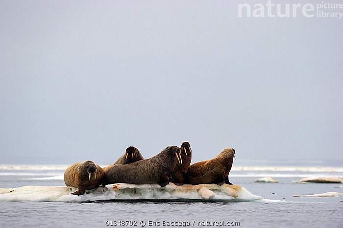 Group of Walrus (Odobenus rosmarus) resting on a small and crowded float of ice. Foxe Basin, Nunavut, Canada, July., ARCTIC,CANADA,CARNIVORES,FIVE,GROUPS,ICE,ICEBERGS,MAMMALS,MARINE,NORTH AMERICA,PINNIPEDS,VERTEBRATES,WALRUSES, Eric Baccega