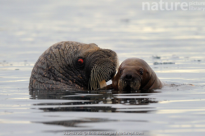 A female Walrus (Odobenus rosmarus) and her yearling calf at the sea surface. Foxe Basin, Nunavut, Canada, July.  ,  AFFECTIONATE,ARCTIC,BABIES,CANADA,CARNIVORES,MAMMALS,MARINE,MOTHER BABY,NORTH AMERICA,PINNIPEDS,SURFACE,TWO,VERTEBRATES,WALRUSES  ,  Eric Baccega