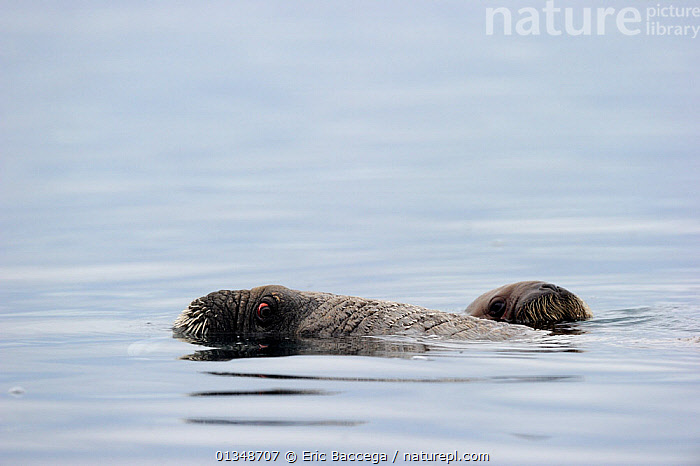 A female Walrus (Odobenus rosmarus) and her yearling calf at the sea surface. Foxe Basin, Nunavut, Canada, July., ARCTIC,CANADA,CARNIVORES,MAMMALS,MARINE,MOTHER BABY,NORTH AMERICA,PINNIPEDS,SURFACE,VERTEBRATES,WALRUSES, Eric Baccega