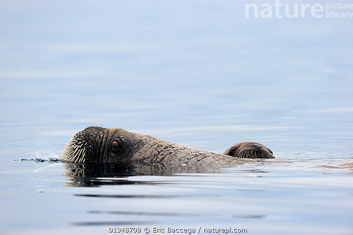 A female Walrus (Odobenus rosmarus) and her yearling calf at the sea surface. Foxe Basin, Nunavut, Canada, July., ARCTIC,CANADA,CARNIVORES,MAMMALS,MARINE,MOTHER BABY,NORTH AMERICA,PINNIPEDS,SURFACE,TWO,VERTEBRATES,WALRUSES, Eric Baccega