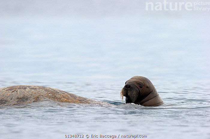 A female Walrus (Odobenus rosmarus) and her yearling calf at the sea surface. Foxe Basin, Nunavut, Canada, July., ARCTIC,BABIES,CANADA,CARNIVORES,MAMMALS,MARINE,MOTHER BABY,NORTH AMERICA,PINNIPEDS,SURFACE,TWO,VERTEBRATES,WALRUSES, Eric Baccega