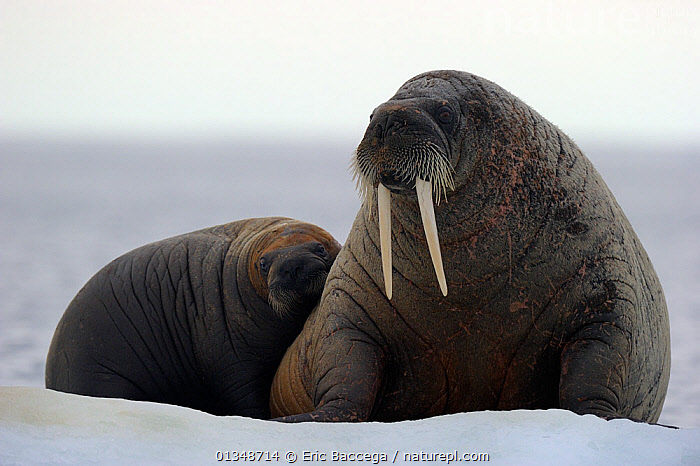 A female Walrus (Odobenus rosmarus) and her yearling calf resting on ice. Foxe Basin, Nunavut, Canada, July., ARCTIC,CANADA,CARNIVORES,ICE,MAMMALS,MARINE,MOTHER BABY,NORTH AMERICA,PINNIPEDS,TWO,VERTEBRATES,WALRUSES, Eric Baccega