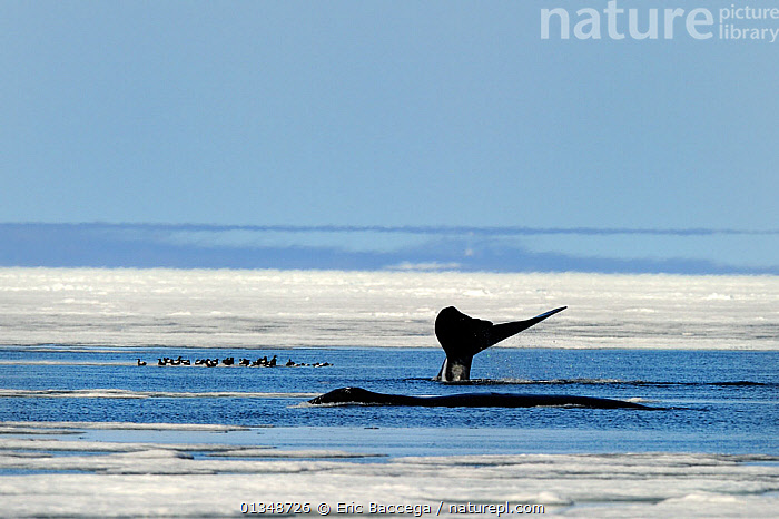Bowhead Whales (Balaena mysticetus) surfacing amongst melting ice with Black Guillemots (Cepphus grylle) resting on ice. Foxe Basin, Nunavut, Canada, July., ARCTIC,BIRDS,CANADA,CETACEANS,ICE,LANDSCAPES,MAMMALS,MIXED SPECIES,NORTH AMERICA,SEAS,SEASCAPES,SURFACE,TAILS,VERTEBRATES,WHALES, Eric Baccega