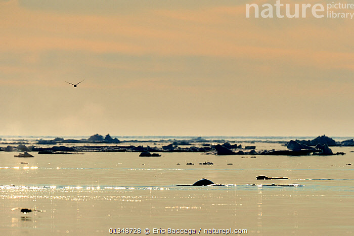 Polar Bear (Ursus maritimus) and a Beluga / White Whale (Delphinapterus leucas) at the sea surface with a bird flying overhead. Floe edge, Arctic Bay, Baffin Island, Nunavut, Canada, June., ARCTIC,BEARS,BIRDS,CANADA,CARNIVORES,CETACEANS,ENDANGERED,ICE,MAMMALS,MARINE,MIXED SPECIES,NORTH AMERICA,SEASCAPES,SILHOUETTES,VERTEBRATES,WATER,WHALES, Eric Baccega