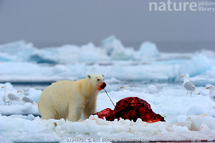 Polar Bear (Ursus maritimus) feeding on a Narwhal (Monodon monoceros) on icepack as gulls wait to scavenge the carcass. Floe edge, Arctic Bay, Baffin Island, Nunavut, Canada, June., ARCTIC,BEARS,BEHAVIOUR,BIRDS,CANADA,CARNIVORES,ENDANGERED,FEEDING,GULLS,ICE,MAMMALS,MARINE,MIXED SPECIES,NARWHALS,NORTH AMERICA,PREDATION,PREY,VERTEBRATES,WHALES, Eric Baccega