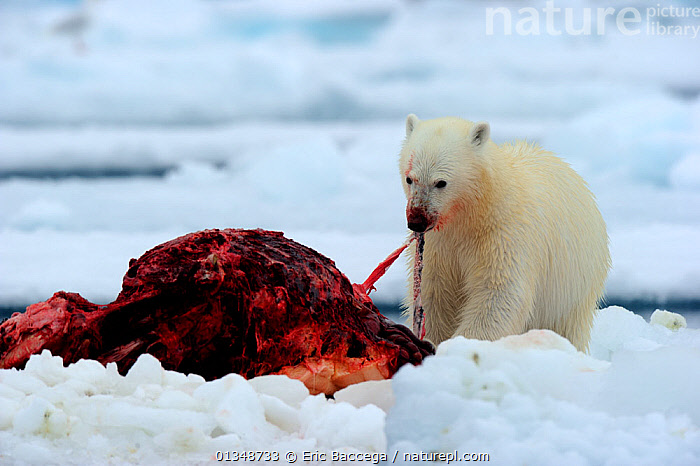 Polar Bear (Ursus maritimus) feeding on a Narwhal (Monodon monoceros) on icepack. Floe edge, Arctic Bay, Baffin Island, Nunavut, Canada, June., ARCTIC,BEARS,BEHAVIOUR,CANADA,CARNIVORES,ENDANGERED,FEEDING,ICE,MAMMALS,MARINE,NARWHALS,NORTH AMERICA,PREDATION,PREY,VERTEBRATES,WHALES, Eric Baccega