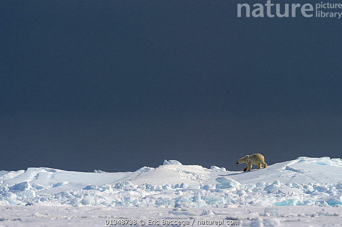 Polar Bear (Ursus maritimus) walking on the horizon of the icepack. Floe edge, Arctic Bay, Baffin Island, Nunavut, Canada, June., ARCTIC,BEARS,CANADA,CARNIVORES,ENDANGERED,ICE,LANDSCAPES,MAMMALS,MARINE,NORTH AMERICA,SKIES,VERTEBRATES, Eric Baccega