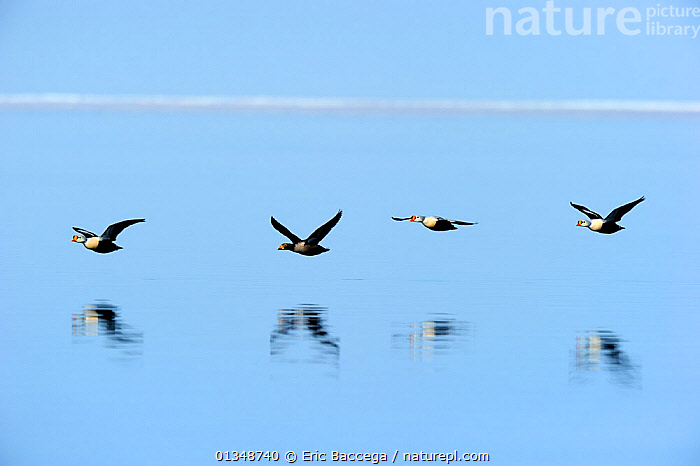 King Eider (Somateria spectabilis) flying low over water. Floe edge, Arctic Bay, Nunavut, Canada, June.  ,  ARCTIC,BIRDS,CANADA,DUCKS,FLYING,FOUR,ICE,NORTH AMERICA,REFLECTIONS,VERTEBRATES,WATER,WATERFOWL,Wildfowl  ,  Eric Baccega