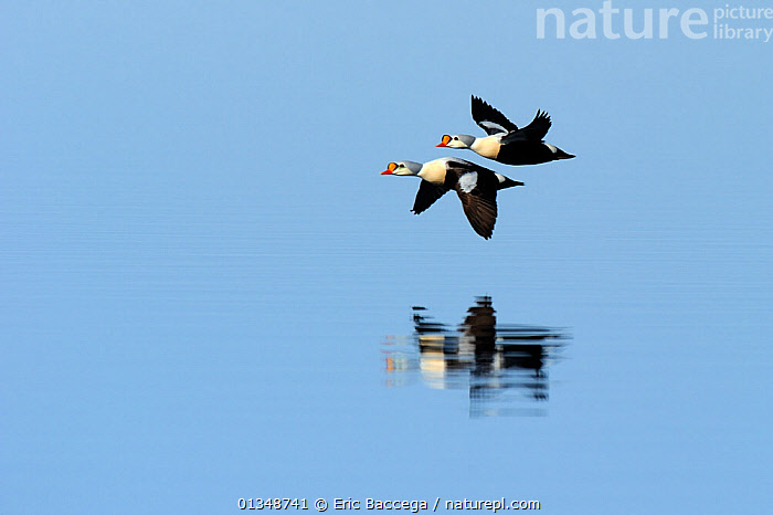 King Eider (Somateria spectabilis) flying low over water. Floe edge, Arctic Bay, Nunavut, Canada, April., ACTION,ARCTIC,Arctic bay,BIRDS,CANADA,catalogue4,copyspace,DUCKS,ease,flight,Floe edge,FLYING,grace,Nobody,NORTH AMERICA,Nunavut,on the move,optimism,reflection,REFLECTIONS,side by side,two,two animals,VERTEBRATES,WATER,water surface,WATERFOWL,WILDLIFE, Eric Baccega