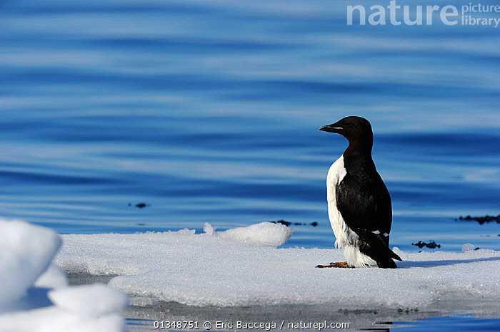 Thick-billed Murre / Brunnich's Guillemot (Uria lomvia) standing on ice. Floe edge, Arctic Bay, Nunavut, Canada, June., ARCTIC,AUKS,BIRDS,CANADA,ICE,NORTH AMERICA,PROFILE,SEABIRDS,THICK BILLED MURRE,VERTEBRATES,WATER, Eric Baccega