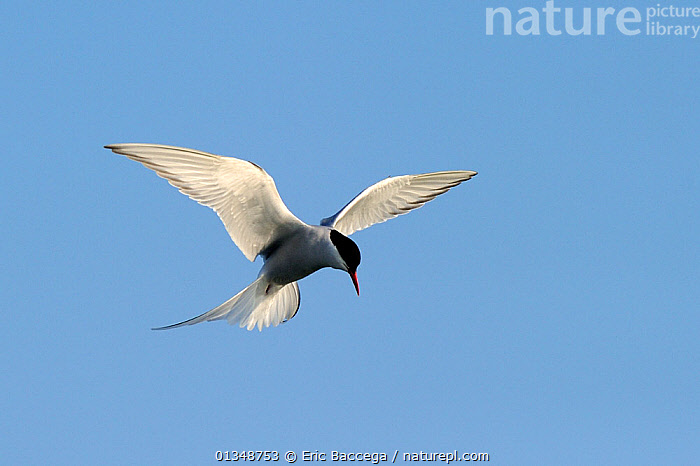 Arctic Tern (Sterna paradisaea) in hovering flight with sunlight shimming from its wing feathers. Foxe Basin, Nunavut, Canada, July., ARCTIC,BIRDS,BLUE,CANADA,CUTOUT,FLYING,LIGHT,NORTH AMERICA,PLUMAGE,SEABIRDS,TERNS,VERTEBRATES,WINGS, Eric Baccega