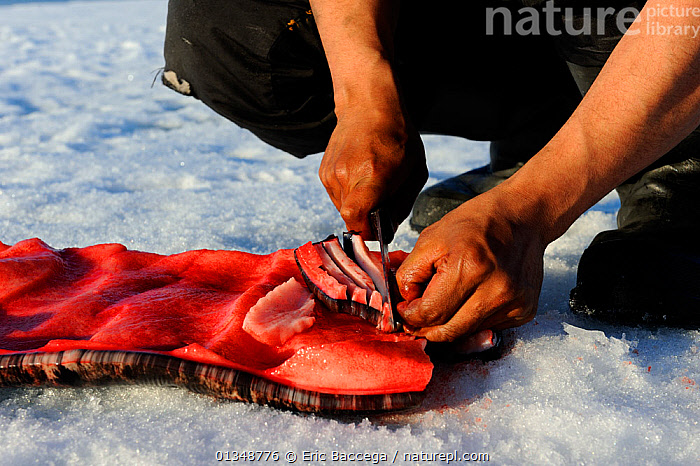 Inuit man cutting a piece of Narwhal (Monodon monoceros) skin and fat (muktuk), traditional food in Inuit culture. Floe edge, Arctic Bay, Nunavut, Canada, June.  ,  ARCTIC,CANADA,CETACEANS,FOOD,NORTH AMERICA,OUTDOORS,PEOPLE,TRADITIONAL,TRIBES  ,  Eric Baccega