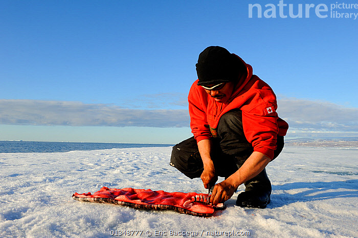 Inuit man cutting a piece of Narwhal (Monodon monoceros) skin and fat (muktuk), traditional food in Inuit culture. Floe edge, Arctic Bay, Nunavut, Canada, June., ARCTIC,CANADA,CETACEANS,FOOD,ICE,LANDSCAPES,NORTH AMERICA,OUTDOORS,PEOPLE,TRADITIONAL,TRIBES, Eric Baccega