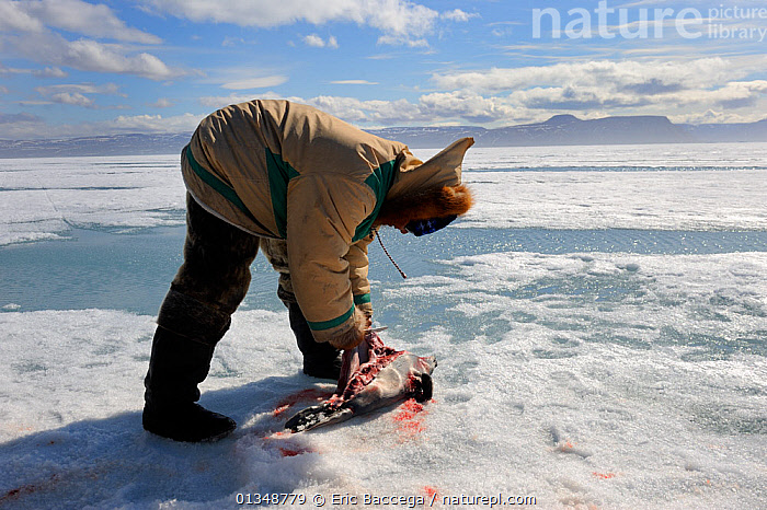 Inuit hunter cutting a ringed sea (Pusa hispida), a traditional food in Inuit culture. Floe edge, Arctic Bay, Nunavut, Canada, June 2011., ARCTIC,CANADA,FOOD,ICE,LANDSCAPES,NORTH AMERICA,OUTDOORS,PEOPLE,PINNIPEDS,TRADITIONAL,TRIBES,Mammals,CARNIVORES, Eric Baccega