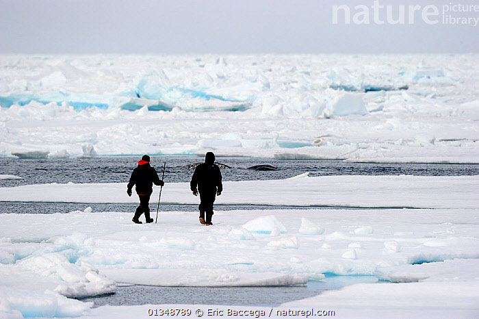 Inuit guides observing Narwhals (Monodon monoceros) in the icepack. Floe edge, Arctic Bay, Baffin Island, Nunavut, Canada, June., ARCTIC,CANADA,CETACEANS,ICE,LANDSCAPES,NORTH AMERICA,OUTDOORS,PEOPLE,TRIBES,TWO, Eric Baccega