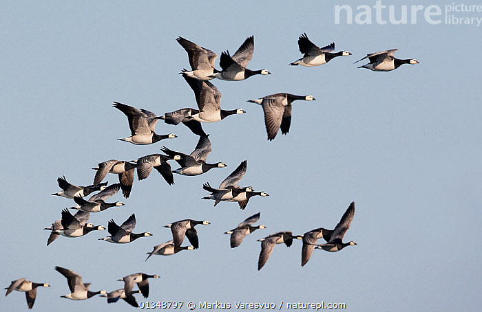 Flock of Barnacle Geese (Branta leucopsis) in flight. Porvoo, Finland, May., ANATIDAE,BIRDS,EUROPE,FINLAND,FLYING,GEESE,GROUPS,SCANDINAVIA,VERTEBRATES,WATERFOWL, Markus Varesvuo