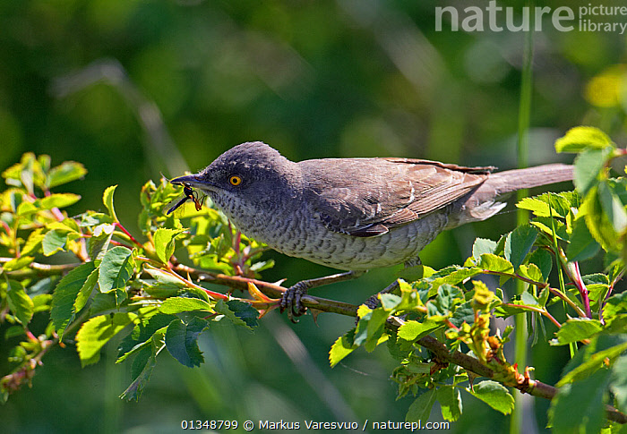 Barred Warbler (Sylvia nisoria) perched on a leafy branch. Estonia, June., BIRDS,ESTONIA,EUROPE,VERTEBRATES,WARBLERS, Markus Varesvuo