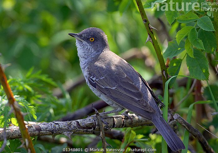 Barred Warbler (Sylvia nisoria) perched. Estonia, June., BIRDS,ESTONIA,EUROPE,VERTEBRATES,WARBLERS, Markus Varesvuo