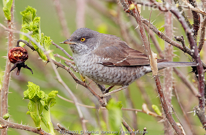 Barred Warbler (Sylvia nisoria) perched in thorns by a rosehip. Finland, May.  ,  BIRD,BIRDS,EUROPE,FINLAND,SCANDINAVIA,VERTEBRATES,WARBLERS  ,  Markus Varesvuo