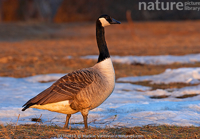 Canada Goose (Branta canadensis) standing by on grass and snow. Helsinki, Finland, March., ANATIDAE,BIRDS,EUROPE,GEESE,PROFILE,SCANDINAVIA,VERTEBRATES,WATERFOWL, Markus Varesvuo